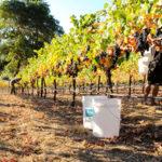 Buckets in vineyard