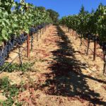 Vineyard field